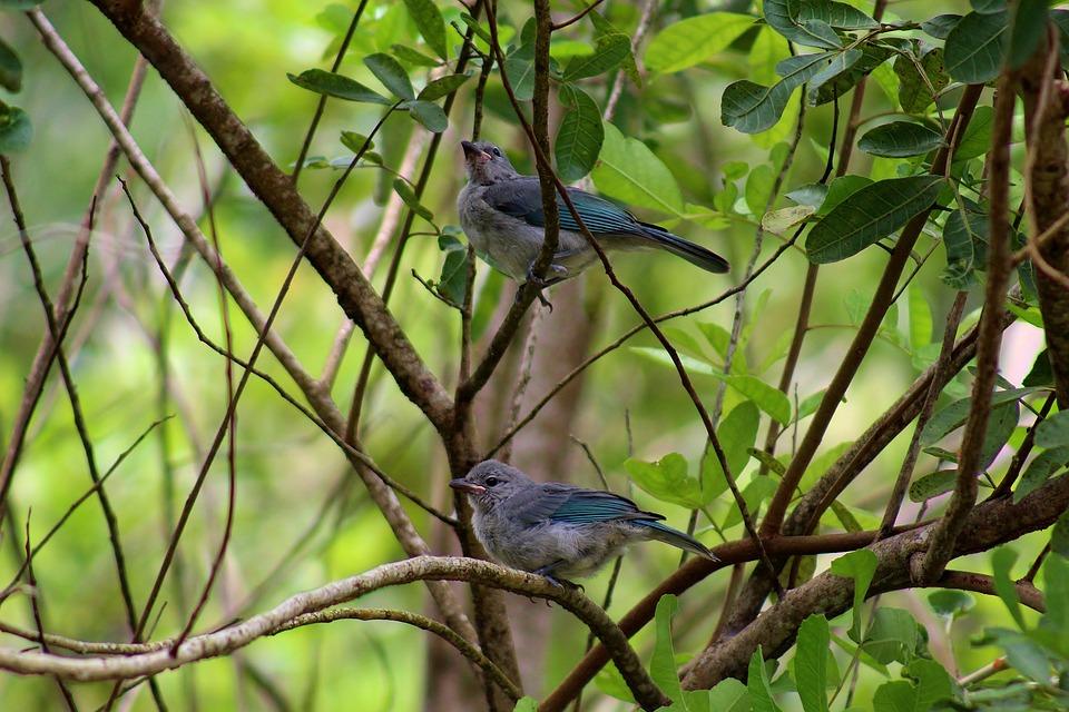 Bird, Animal, Nature, Sanhaçu-gray, Plumage, Beak