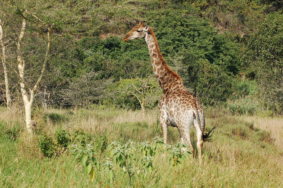 Africa, Animals, Giraffe, Wildlife, Savannah, Nature