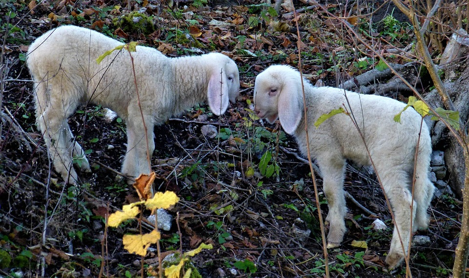 Sheep, Lamb, Lambs, Animals, Schäfchen, Nature, Wool