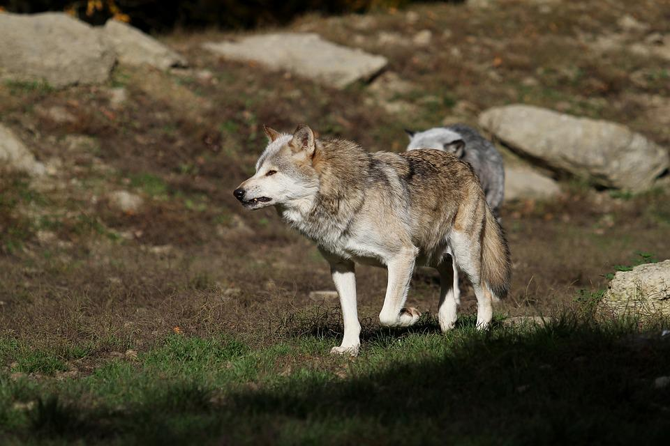Wolf, Timberwolf, Canada, Predator, Nature, Pack, Scheu