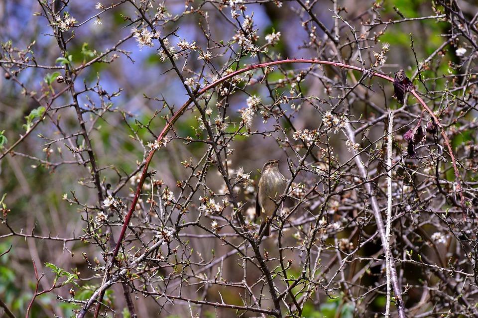 Chiffchaff, Bird, Scrub, Nature, Songbirds