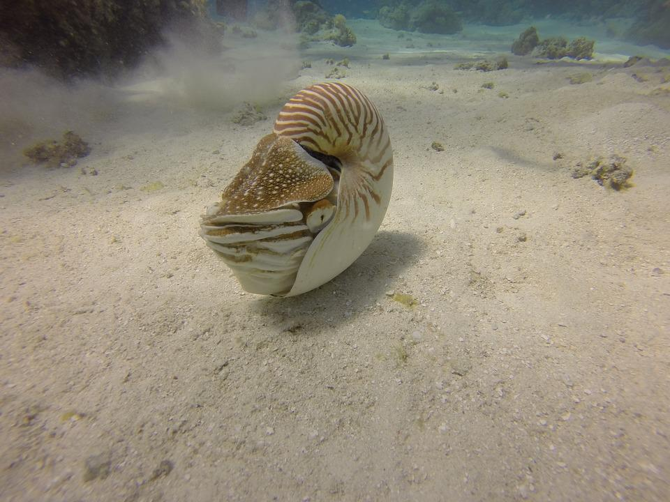 Nautilus, Scuba, Dive, Nature, Animal, Life, Creature