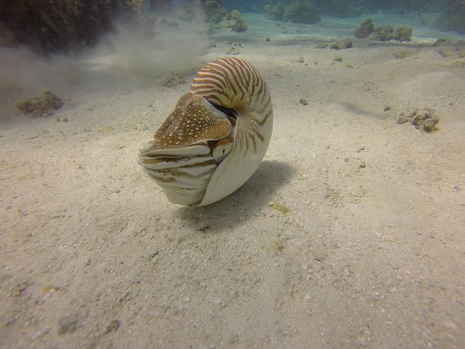 Nautilus, Scuba, Dive, Nature, Animal, Life, Creature