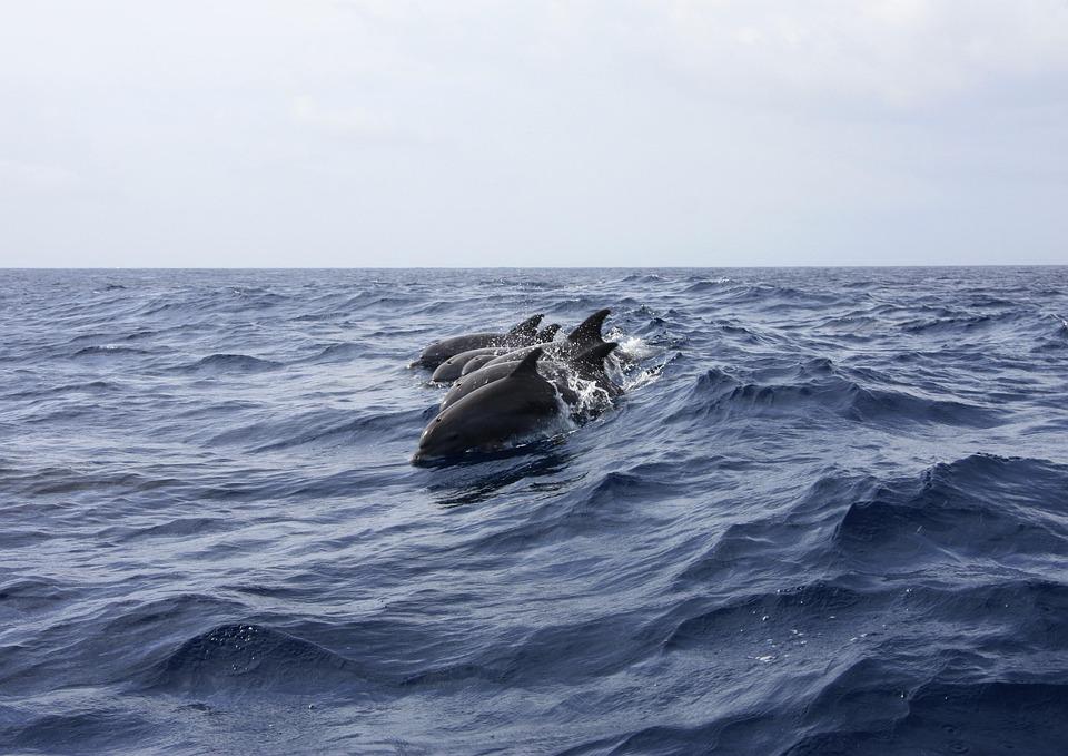 Dolphin, Animals, Sea, Nature