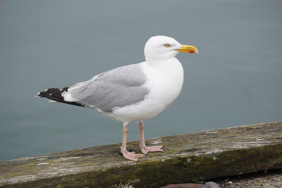 Bird, Gull, Sea bird, Animal, Sea, Nature