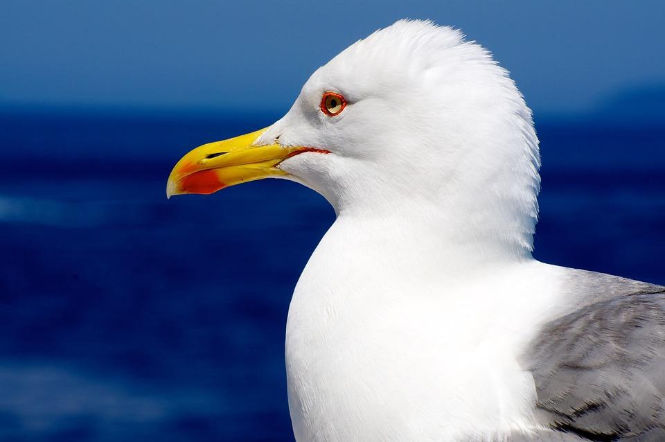 Seagull, Gabbiano, Bird, Fly, Animal, Nature, Sea