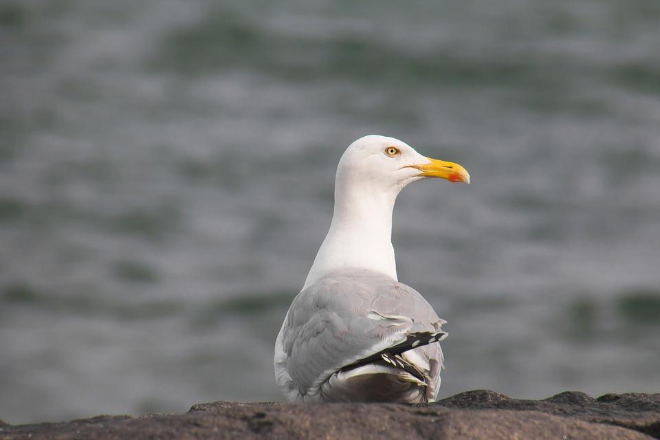 Seagull, Bird, Nature, Animal World, Waters, Sea, Wave