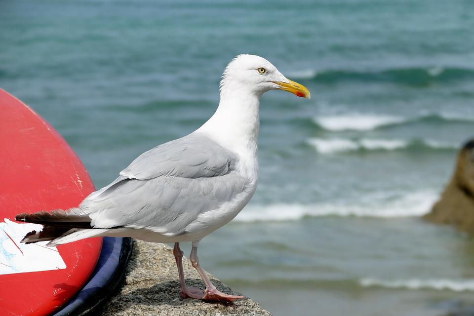 Seagull, Bird, Animal, Nature, Gull, Sea, Water