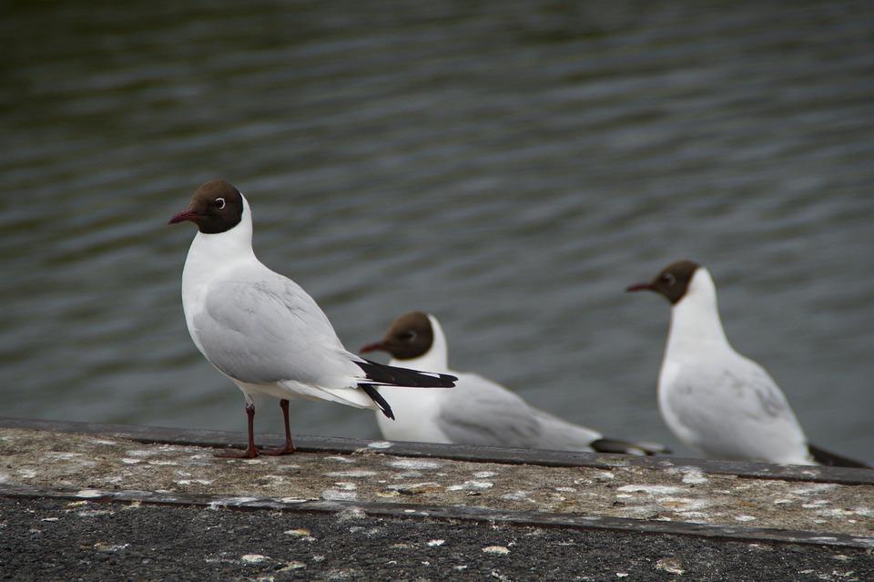 Black Headed Gull, Seagull, Water Bird, Bird, Nature