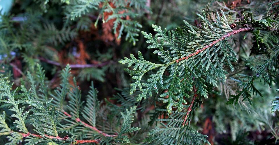 Tree, Nature, Needle, Season, Evergreen, Conifer