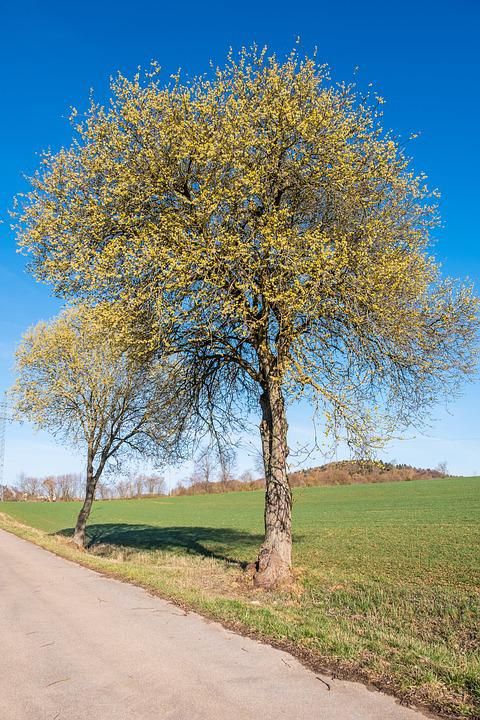 Tree, Landscape, Nature, Rural, Season, Spring, Pollen