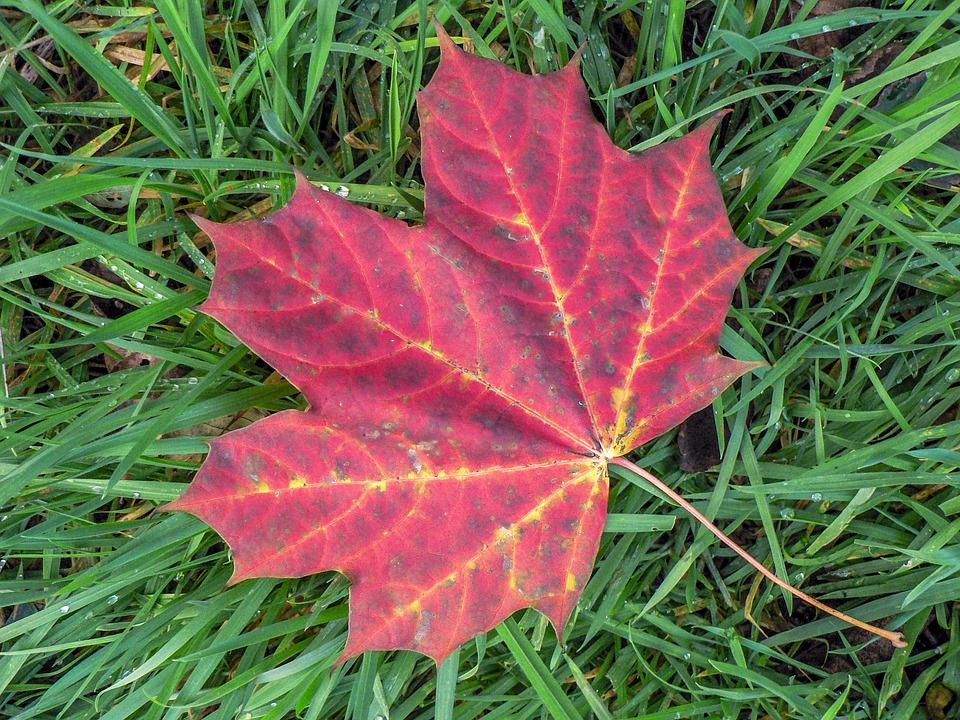 Leaf, Nature, Autumn, Plant, Season, Wine Red