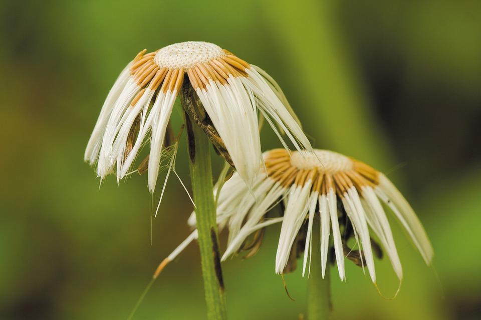 Tussilago Farfara, Faded, Nature, Seeds Was