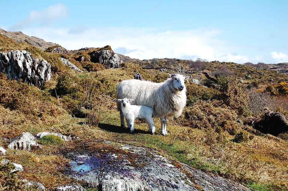 Animals, Nature, Sheep