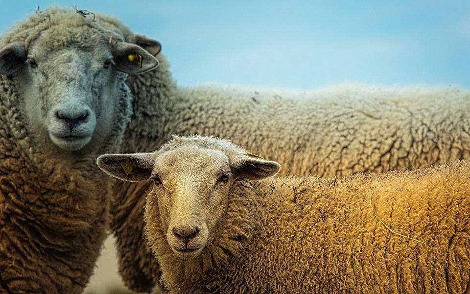 Sheep, Animals, Cute, Nature, Sheep Face, Head