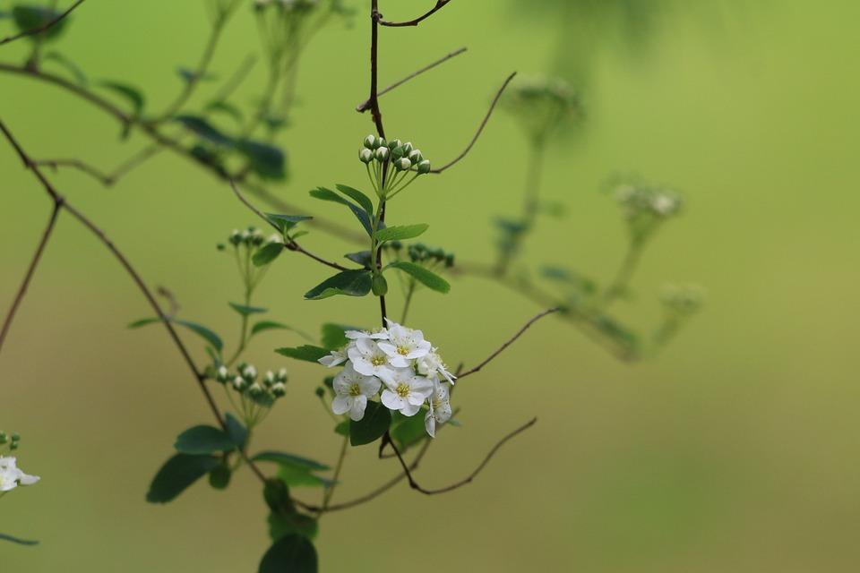 Meadowsweet, Shrub, Nature, White Flower, Plant