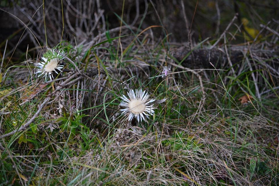 Thistles, Silberdisteln, Forest, Nature