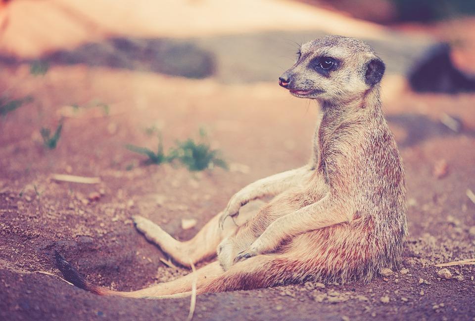 Meerkat, Animal, Africa, Desert, Nature, Zoo, Sit, Rest