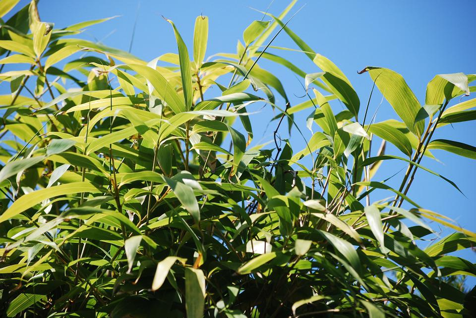 Bamboo, Nature, Sky, Bamboo Plants, Green