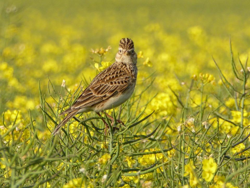 Skylark, Lark, Fauna, Nature, Bird, Beak, Animal