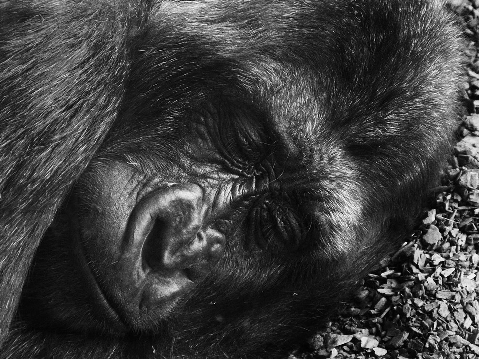 Gorilla, Animals, Nature, Sleep