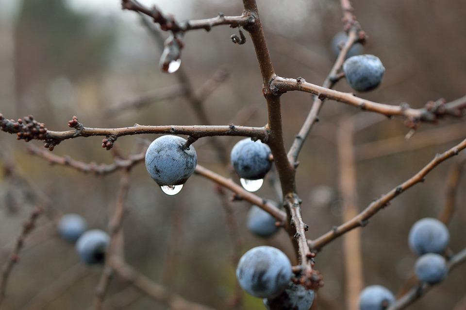 Sloe, Nature, Crop, Berry