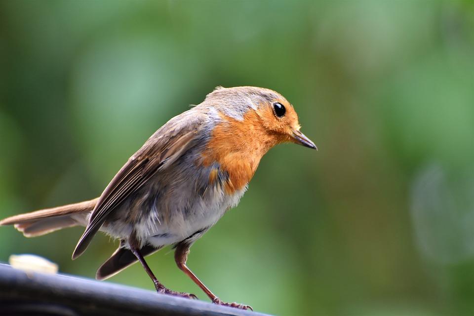 Robin, Bird, Songbird, Animal, Small Bird, Nature
