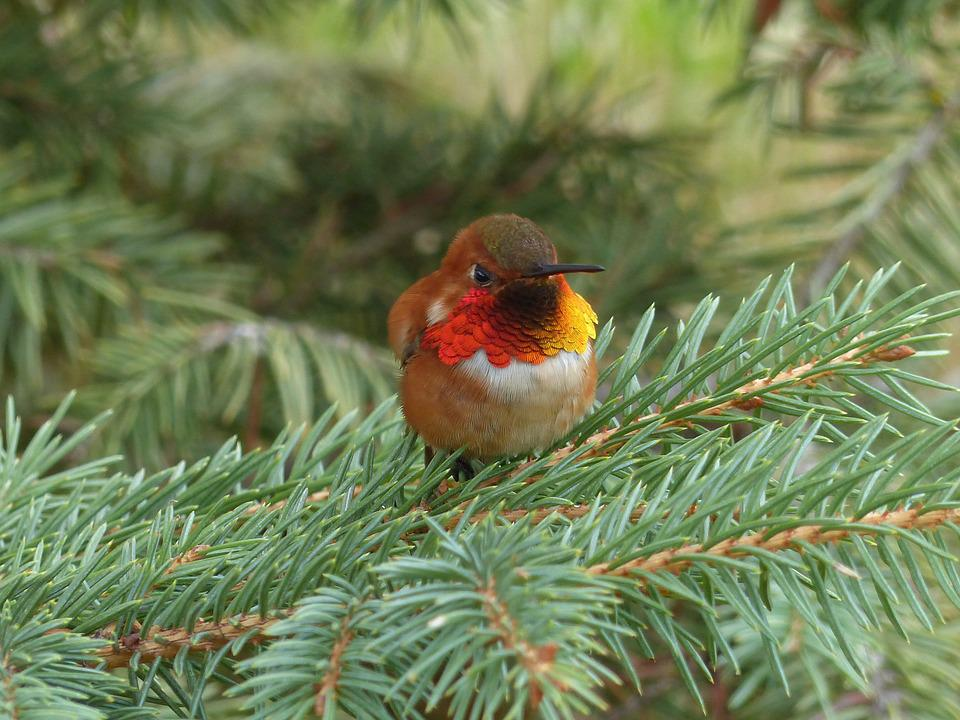 Hummingbird, Bird, Small, Tiny, Nature, Wildlife