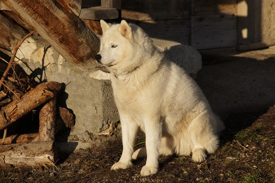 Winter, Mountain, Snow, Husky, Dog, Nature, Alps