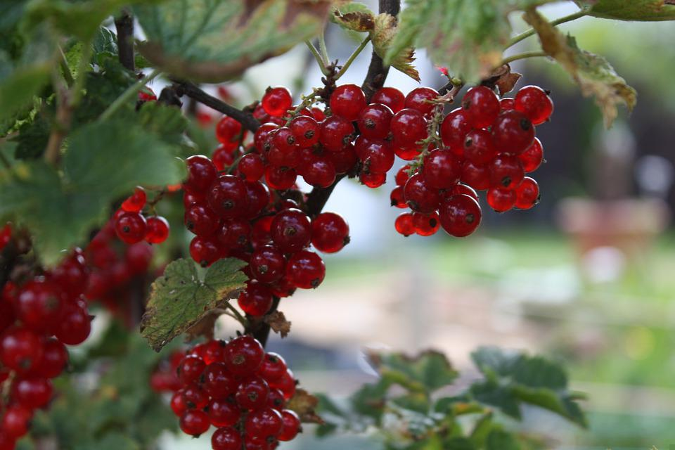 Johannesbeere, Sommer, Summer, Red, Food, Nature