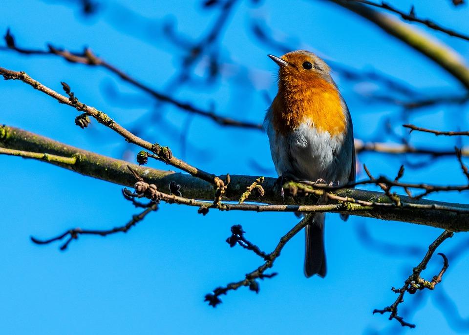 Robin, Spring, Bird, Songbird, Nature, Species