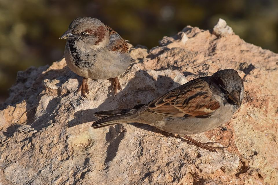Sparrows, Nature, Bird, Wildlife, Outdoors, Animal