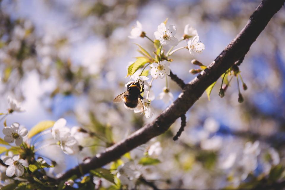 Bee, Blossoms, Insect, Nature, Pollination, Spring