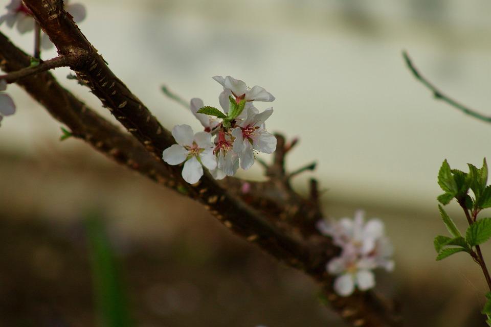 Apple Blossom, Spring, Nature, Blossom, White, Tree