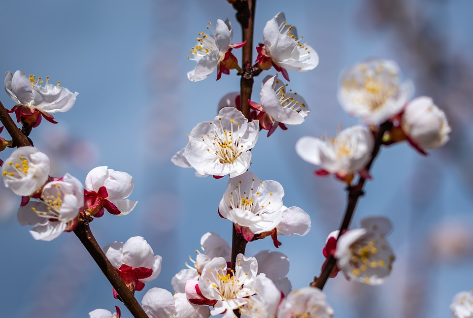 Flowers, Spring, Apricots, Close Up, Garden, Nature