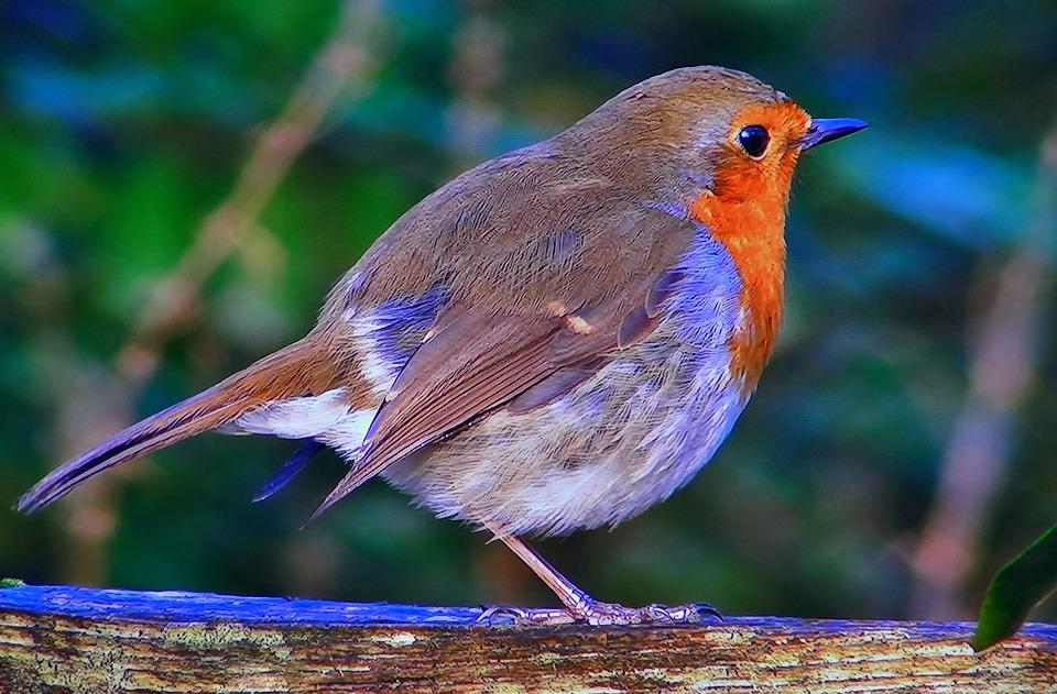 Redbreast, Common, Nature, Spevavý, Little Bird, Spring