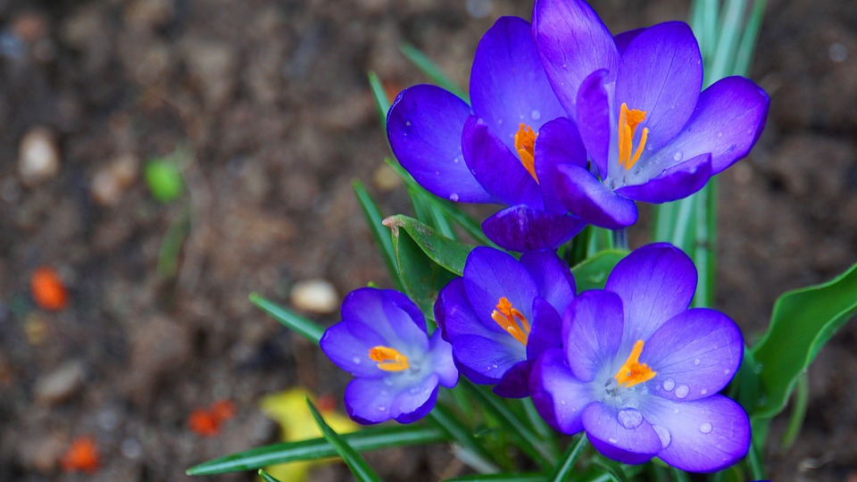 Crocus, Flowers, Spring, Bloom, Nature, Flower, Purple