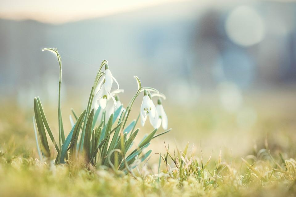 Snowdrop, Spring, Flower, Signs Of Spring, Nature