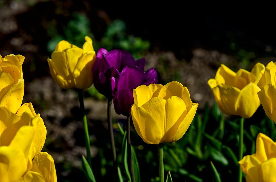 Tulips, Spring, Nature, Colorful, Color, Spring Flowers