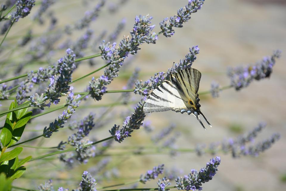 Butterfly, Spring, Lavender, Nature