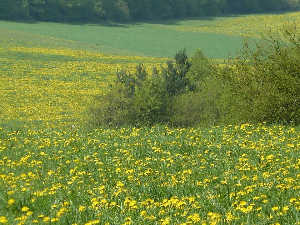 Spring Meadow, Dandelion, Flowers, Meadow, Nature