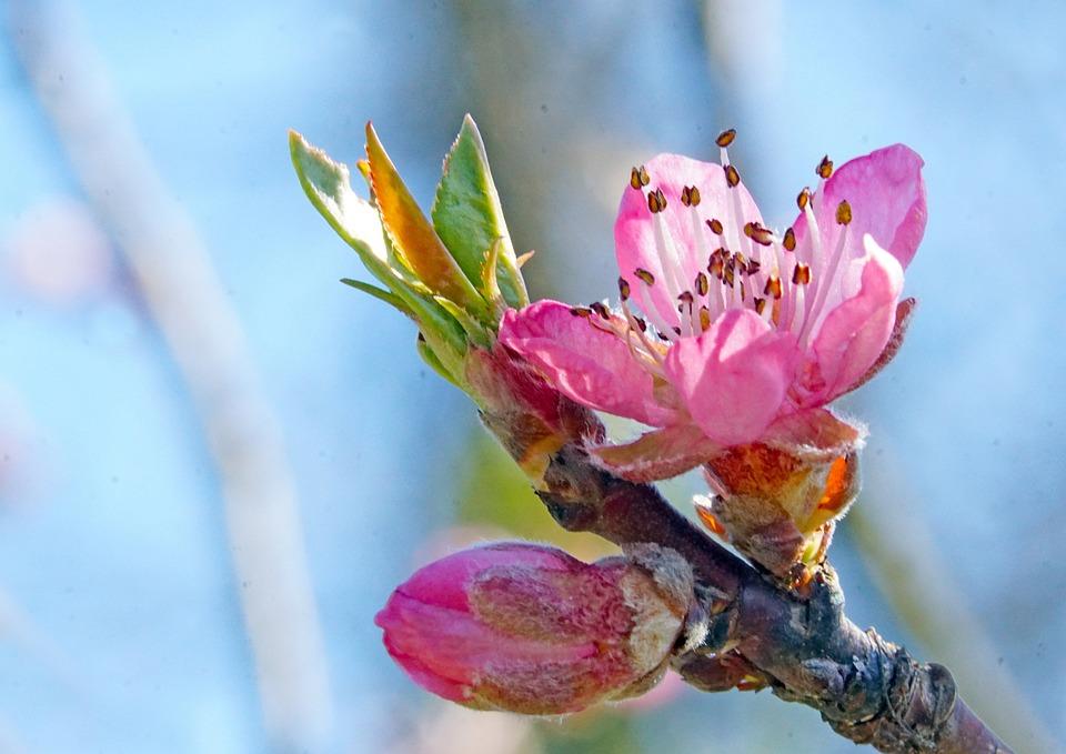 Nature, Flowers, Spring, Peach