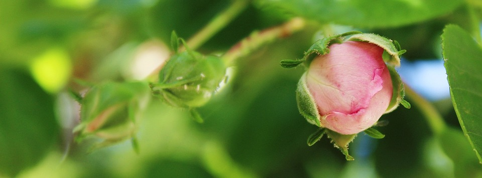 Rose, Flower, Pink, Pink Flower, Plant, Spring, Nature