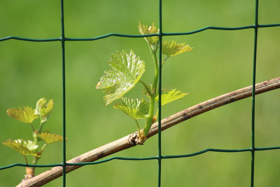 Grapes, Young Leaves, Spring, Leaf, Plant, Nature