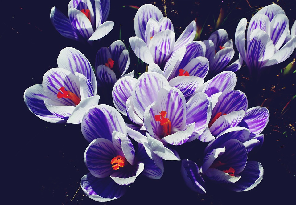 Crocus, Flowers, Plants, Spring, Nature, Flourishing