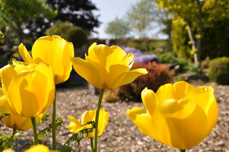Free photo nature spring tulip flower plant flowers yellow max pixel tulip flower plant flowers spring yellow nature mightylinksfo