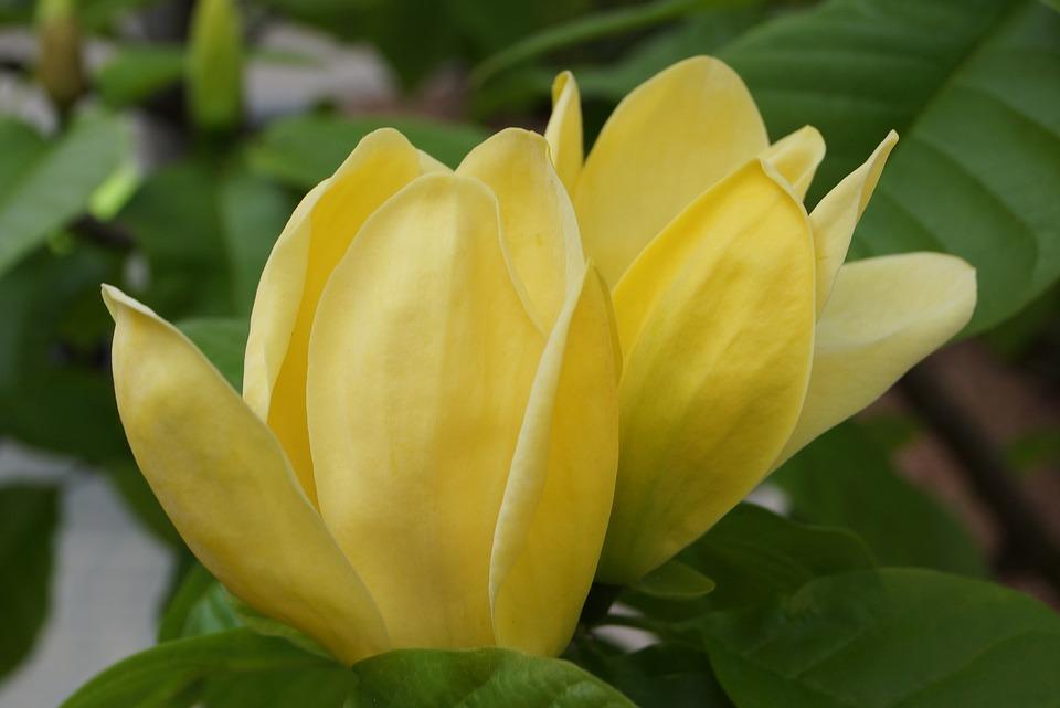 Free photo nature spring yellow flowers flowers magnolia max pixel flowers spring magnolia yellow flowers nature mightylinksfo