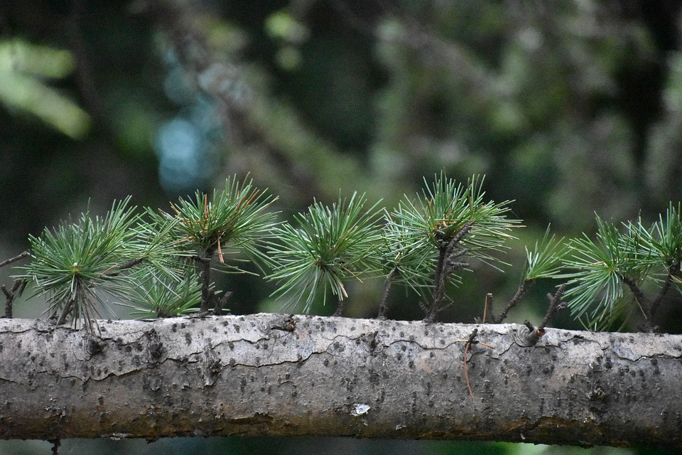 Tree, Branch, Needles, Spruce, Conifer, Nature, Plant