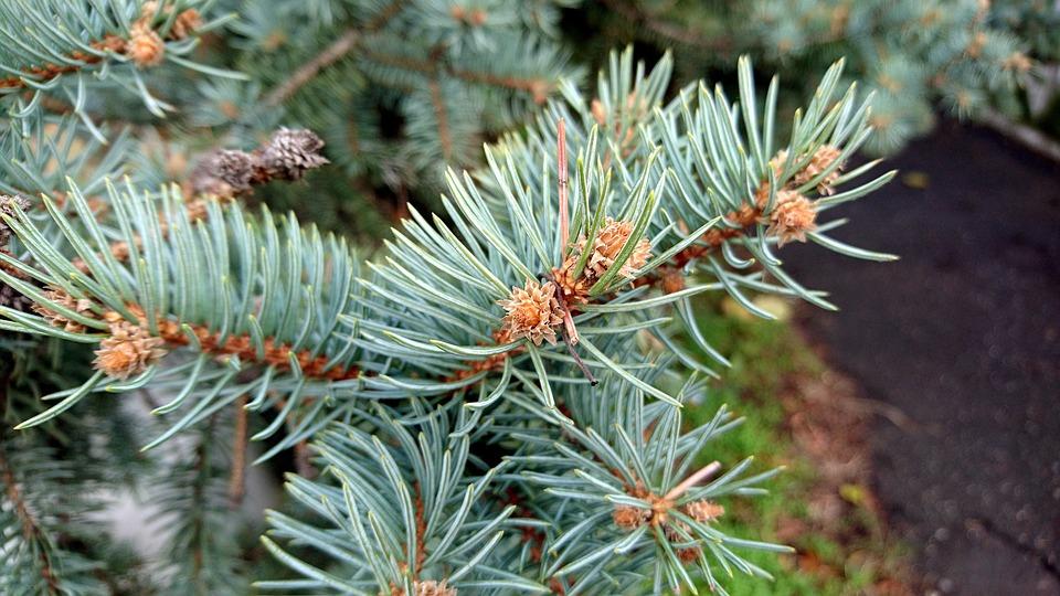 Needles, Pine, Needle, Tree, Spruce, Plant, Nature