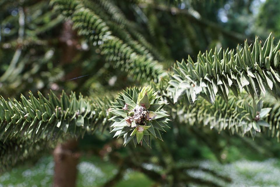 Chile, Fir, Tree, Spur, Mainau, Green, Nature, Garden
